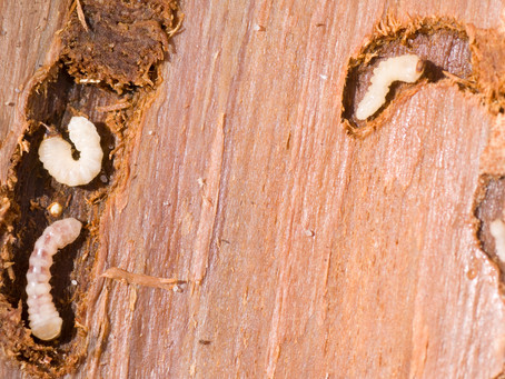 What is Woodworm And How To Treat It?