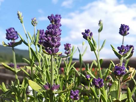 Lavendel, für Gesundheit und Kosmetik - I
