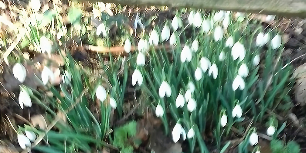 February  Third Sunday Walk  - Cound Snowdrops - Changed to Apley Woods due to flooding