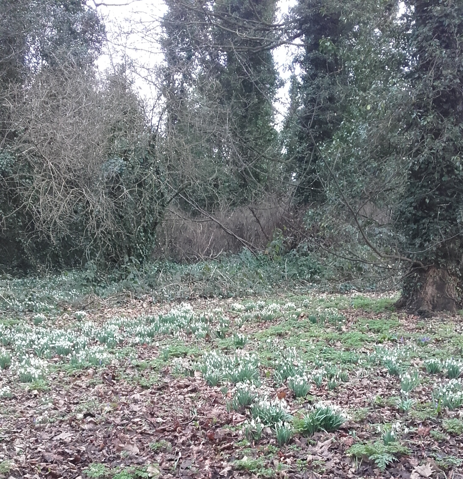 Snowdrop Walk Feb 2018
