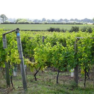 Vineyard9S.JPG