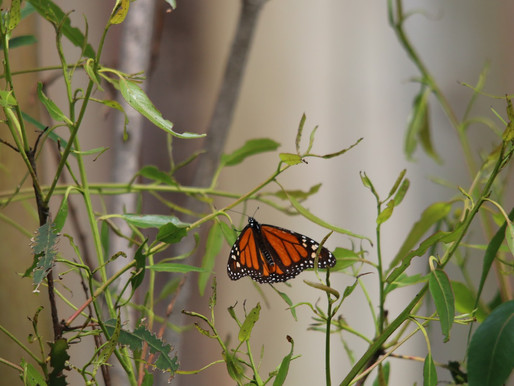 Following the Western Monarch Decline