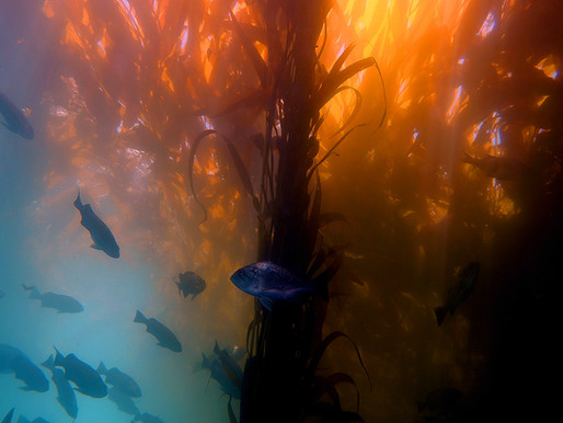 Massive Kelp Die-Off