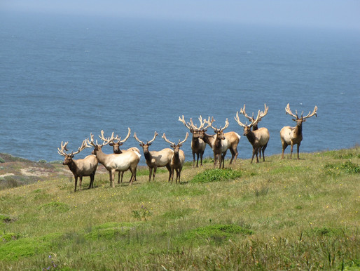 Dairy and Death for Point Reyes' Tule Elk