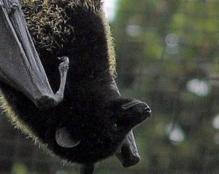 Livingstone's Flying Fox