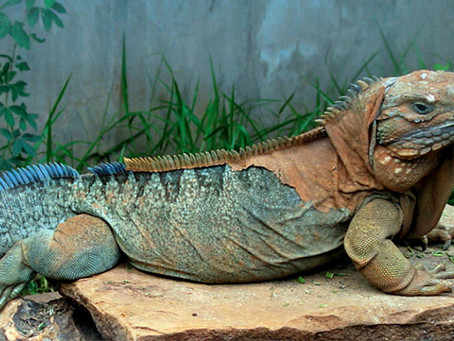 The Jamaican Iguana