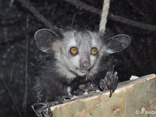 "The Aye Aye: ""Madagascar's Woodpecker"""