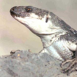 La Gomera Giant Lizard