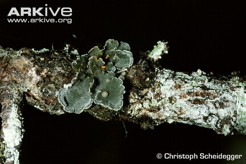 boreal-felt-lichen-mature-specimen-on-branch