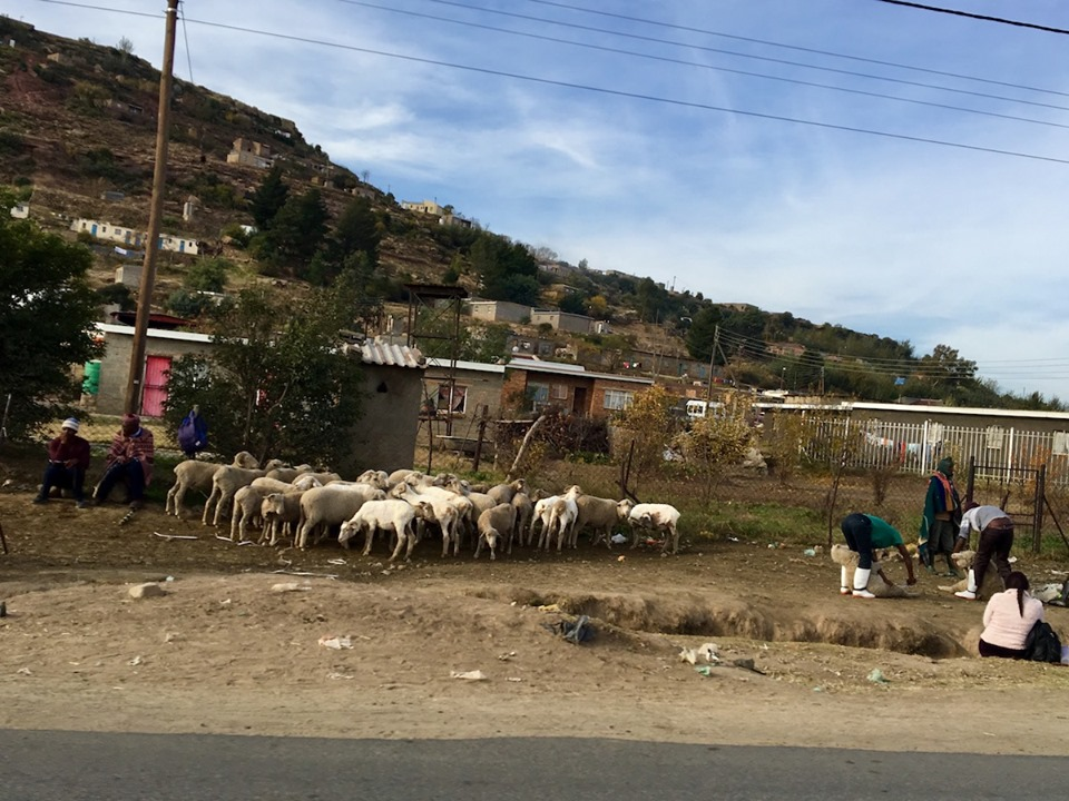 SHEEP! being herded by the roadside. — in Maseru, Lesotho.