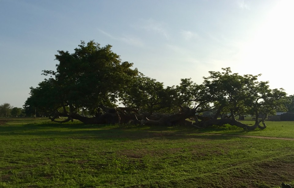 Another strange Baobab in the village. The limbs became so heavy they fell and settled into the ground. It was HUGE.