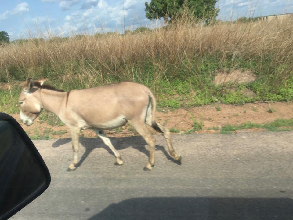 Donkeys... many much donkeys. — in Ghana.