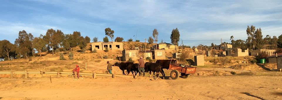 The cows hitched to the wagon were back again today. We seem to have the same timing. — in Maseru, Lesotho.