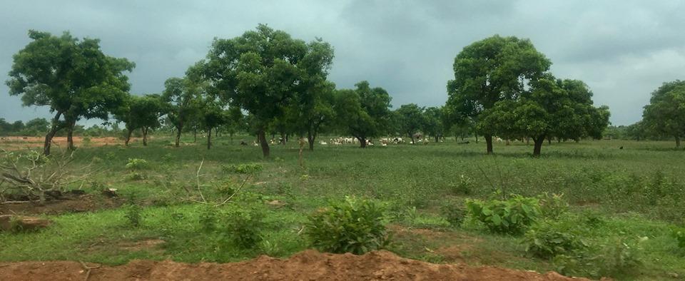 Cows. Lots of cows.