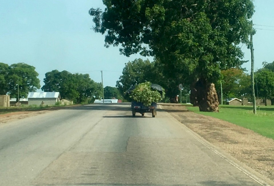 One of the smaller loads of greens headed into Navrongo. These are used to season soups. You can also see the knotty old mahogany tree on the right. — in Navrongo.