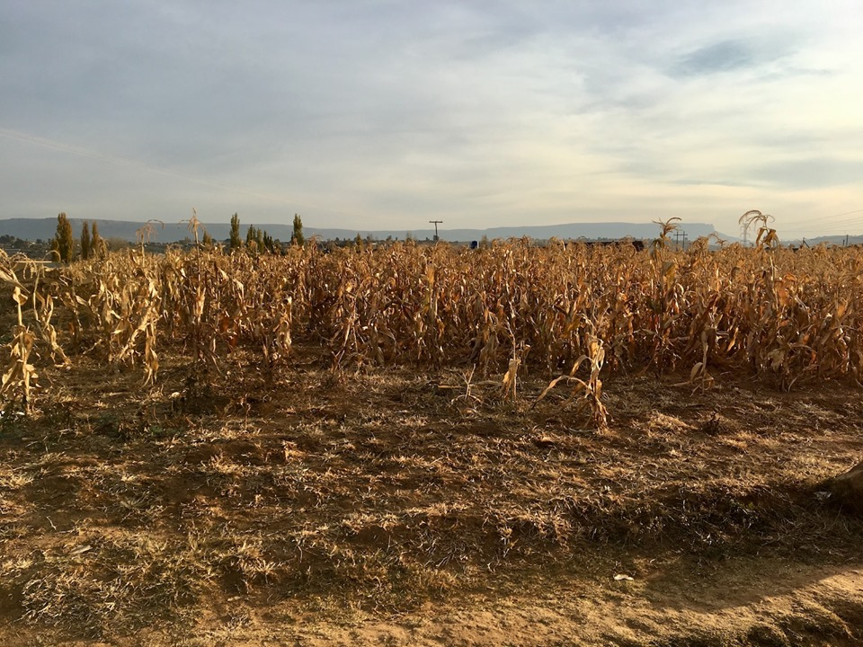A dried up maize field. I thought it was pretty. — in Maseru, Lesotho.