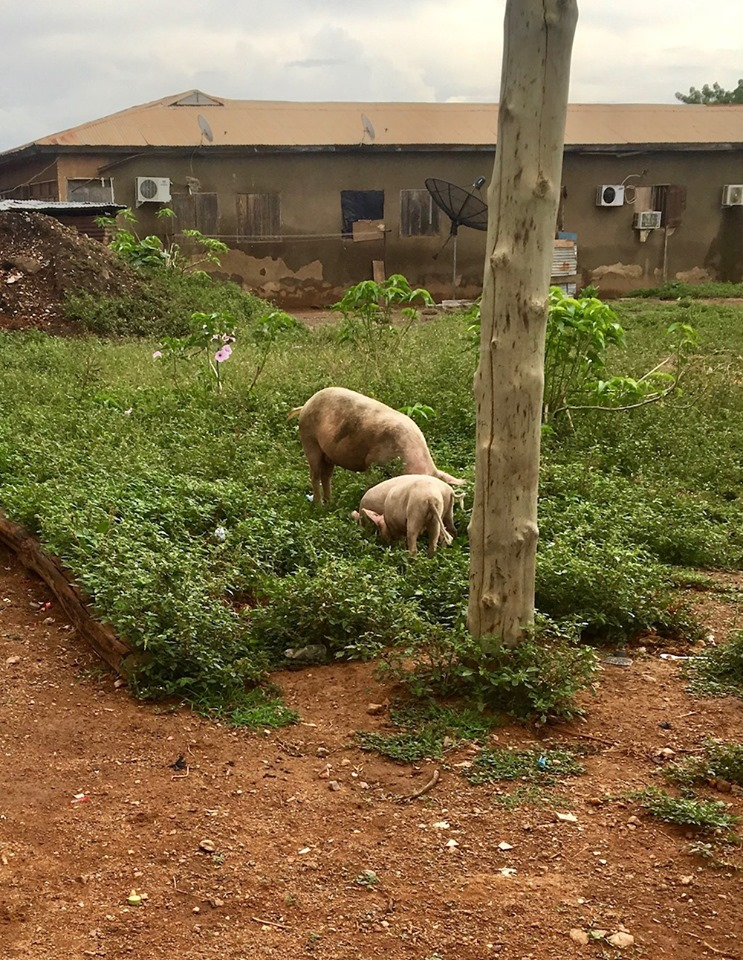 Pigs foraging near the guest house in Bolgatanga.