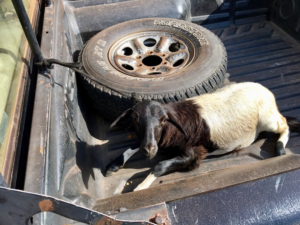 It's not every day you come outside and find a goat tied in the bed of your truck!