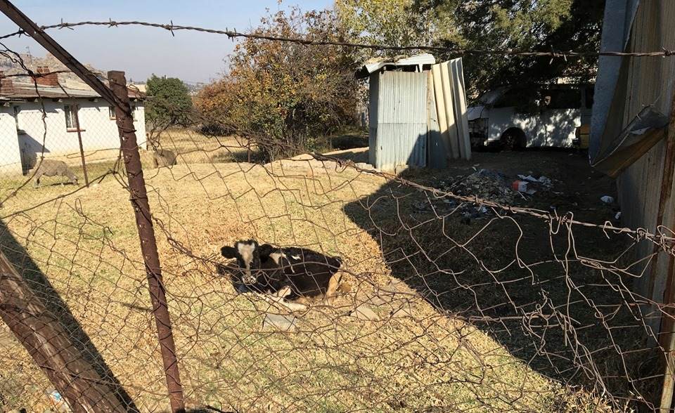Neighborly cow. I guess the sheep clocked out when the cow clocked in. — in Maseru, Lesotho.