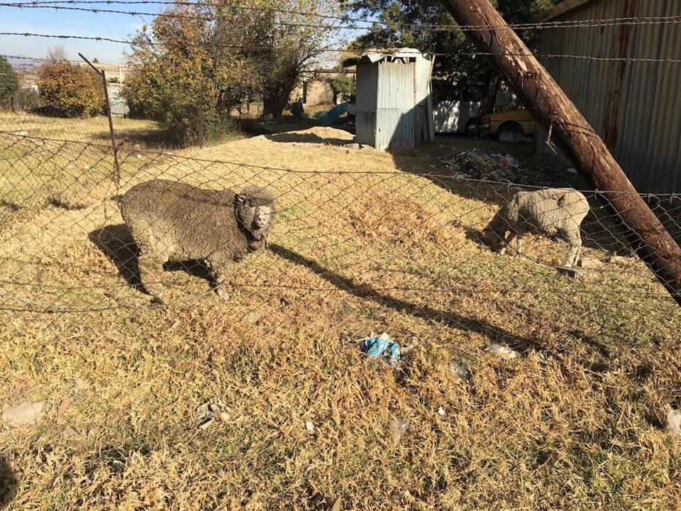Neighbor sheep. — in Maseru, Lesotho.