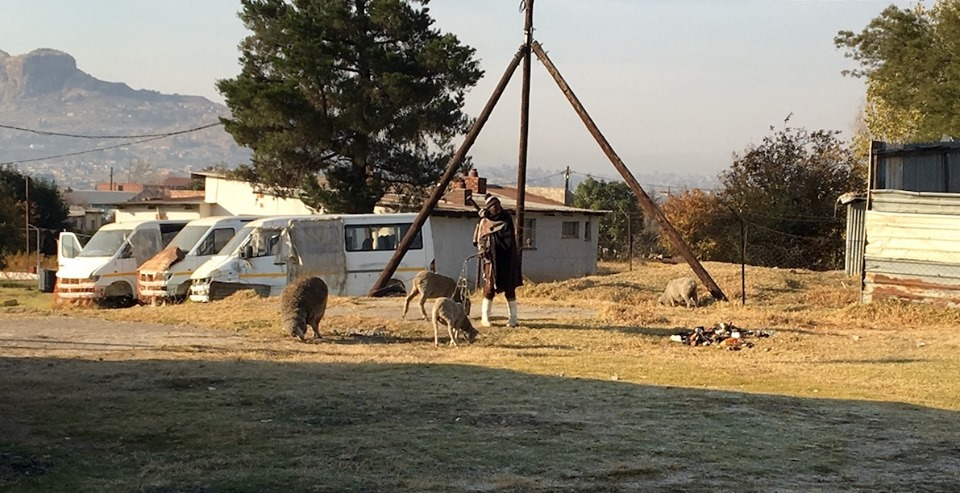 The shepherd who lets his sheep graze around the church and neighboring property. He was staking them out this morning. — in Maseru, Lesotho.