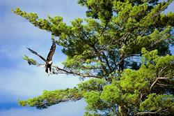 Blad Eagle Leaving White Pine