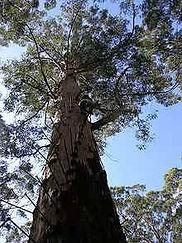 karri tree.jpg