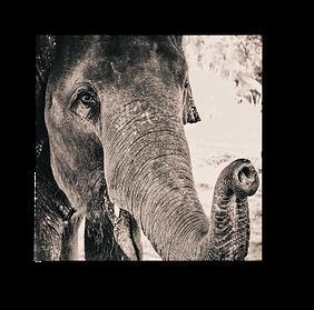 Elephants5.png