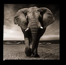 Elephants3.png