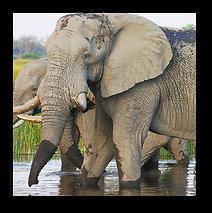 Elephants6.png