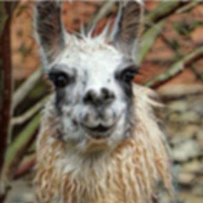 Llama-Head-square.-96.jpg