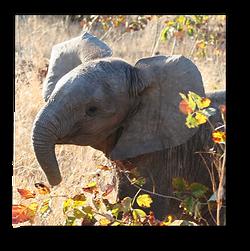 Elephants7.png