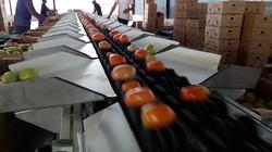 Tomate Agri 04.jpg