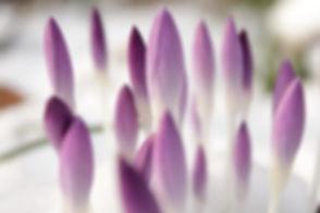 Purple Buds