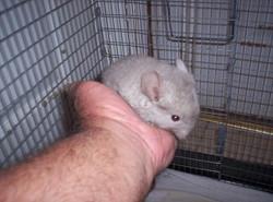 Chin kit Tawny