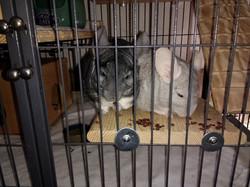chins adopt Mama and Provo pair