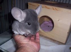 chins cute grey velvet photo