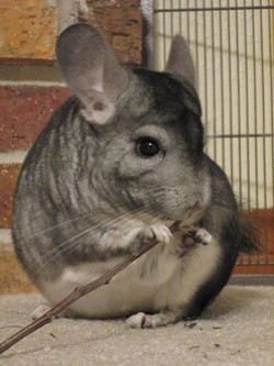 chins eating apple stick cute