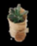 succulentfavour.png