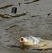 carp caught with a cage feeder