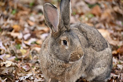 Giant Flemish Rabbit