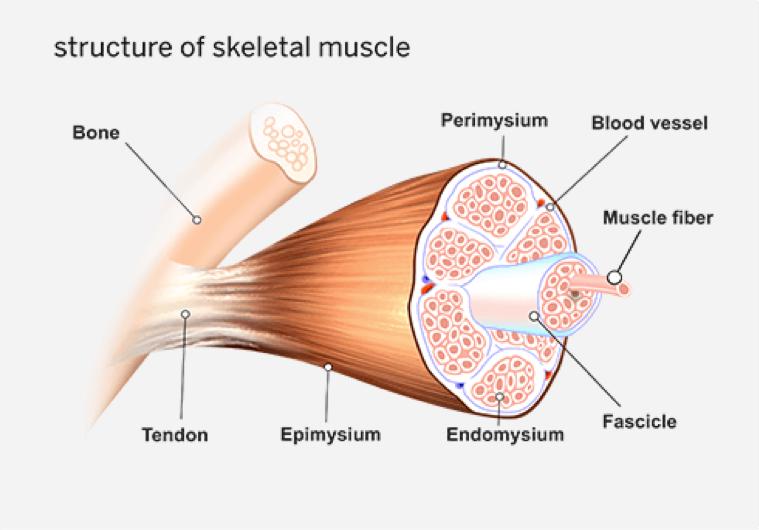 CrossFit Skeletal Muscle