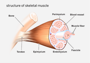 CrossFit Skeletal Muscle