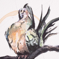 Preening Dove