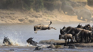 Great Migration Wildebeest crossing Serengeti
