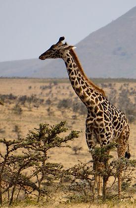 Serengeti Giraffe.jpg