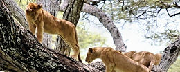 Lions in Lake Manyara National Park