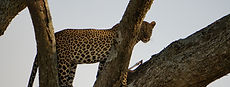 Leopard eatin his prey in a tree
