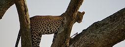 Leopard in Serengeti Tanzania