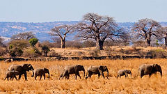 Elephant herds crossing Tarangire National Park